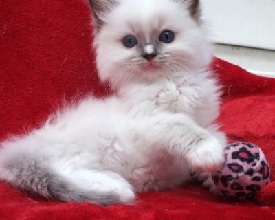 Cute and Lovely Home Raised Ragdoll Kittens.