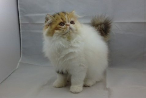 well trained persian kitten looking for a new home