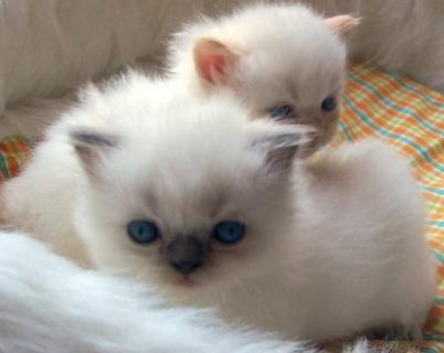Ragdoll Kittens For Sale White Female With Blue Eyes For Sale