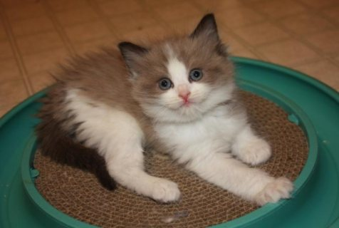 Beautiful Pedigree Ragdoll Kittens For Sale