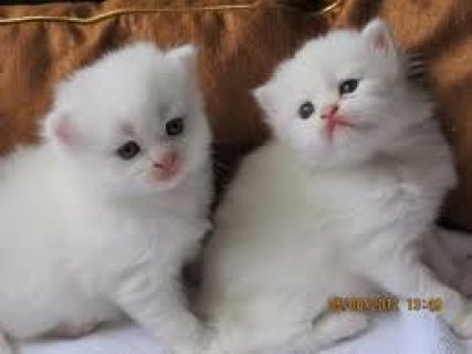 milk and cute persian kittens seeking a home