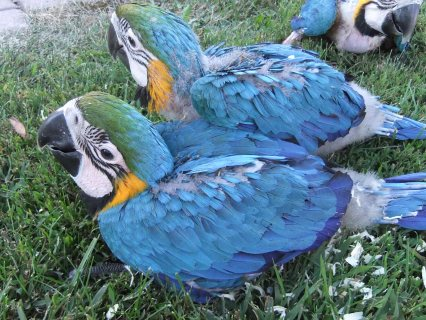 Pair of Macaw Parrots for Adoption