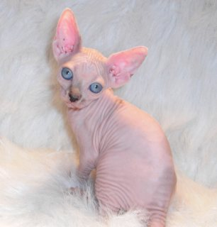 Lovely sphynx kittens for new homes
