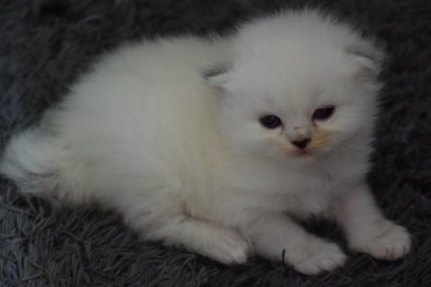 Stunning Persians Kittens Ready To Reserve