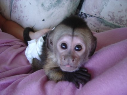 very cute and pretty baby capuchin monkeys,squirrel and marmoset