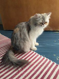 قطة هاف بيكي عالي كاليكو