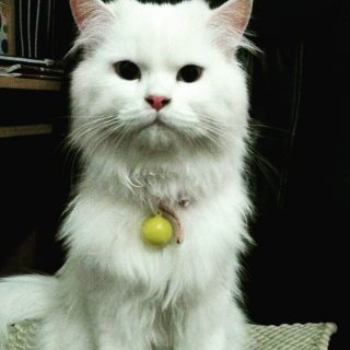 قط شيرازي ابيض كثير اللعب مع جميع اغراضه و دفتر تطعيمات