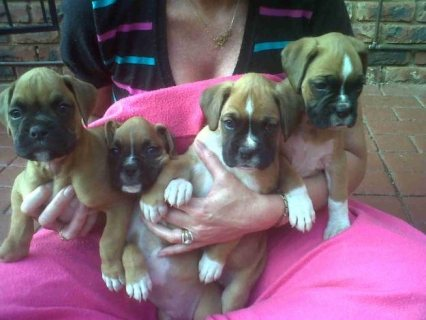 Nice Looking Boxer puppies For Sale