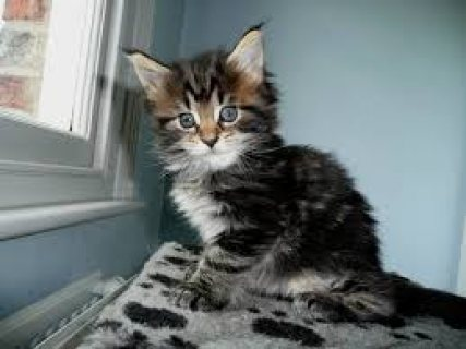 Maine Coon Kittens For Rehoming 7777