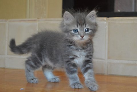 Cute Siberian Kittens ready to go For Good Homes-09