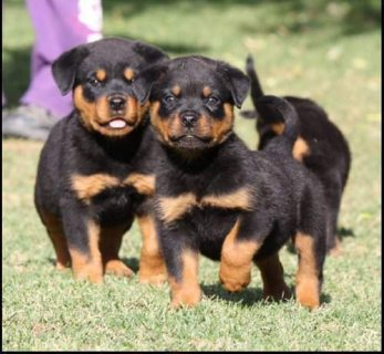 Excellent Rottweiler Puppies For Sale.