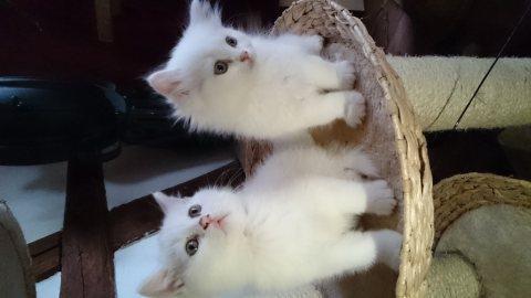 Persian kitten , 1 male 1 female
