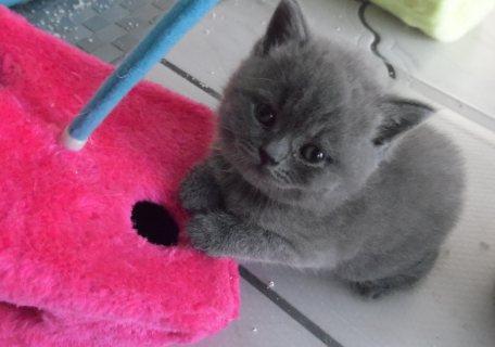 Healthy male and female British shorthair  kittens Seeking new h