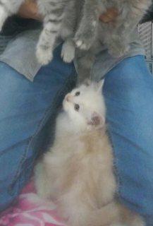 لعشاق القطط.. قطط شيرازي للبيع