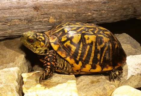 صور Home Trained tortoises Available For Sale 1