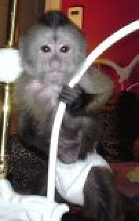 About My Beautiful Babies Boy And Girl capuchin monkey For Adopt