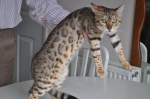 f1 bengal kittens for sale