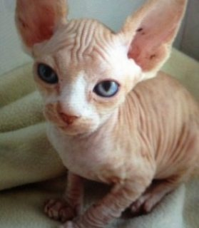 Bold and Wrinkly Sphynx Kittens