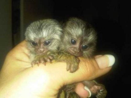 Very healthy male and female baby Marmoset monkeys for adoption