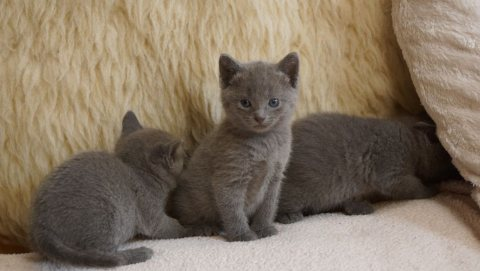 Well Trained and Hand Raised Russian Blue Kitten 01