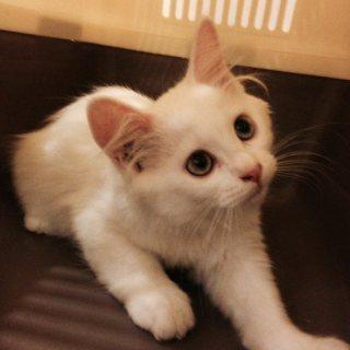 قطه شيرازيه - بيع مستعجل مع اعراضها