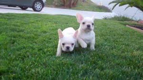 2 Beautiful French Bulldogs3456789