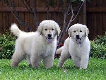 Two Adorable Retrievers for Adoption76543