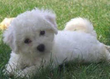Bichon Frise Pups///5432