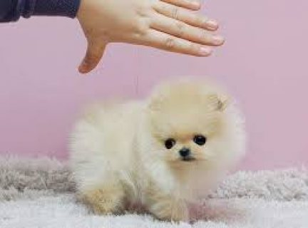 Excellent male and female Pomeranian puppies For you234567