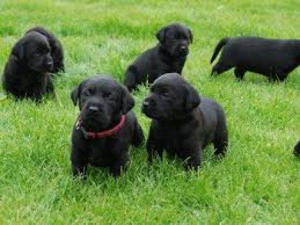 Labrador Retriever puppies for ready for new homes67543