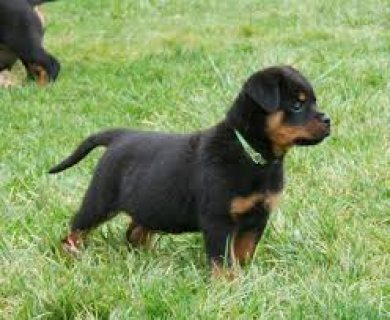 Amazing AKC Rottweiler Puppies Available6543