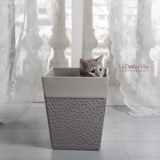 قط شيرازي تركي للبيع