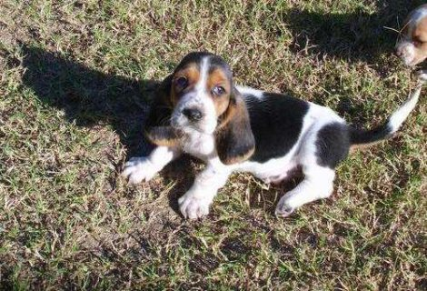 WEL TRAINED Basset Hound Puppies For Sale