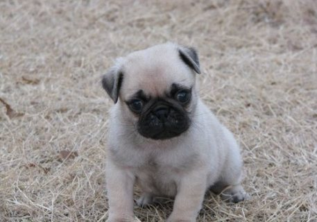 Our Home Raised Pug Puppies