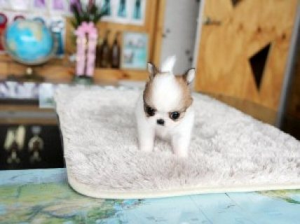 Micro Chihuahua puppies for a caring home.