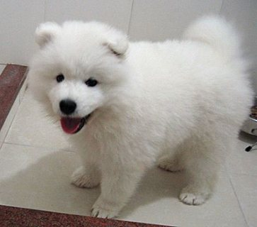 adoreble samoyed seill puppy