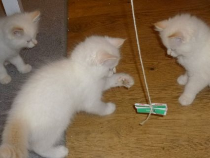 Ragdoll Kittens Ready To Go