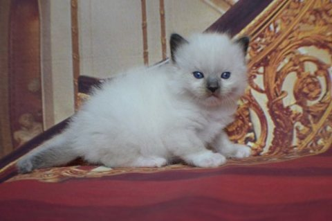 Beautiful Full Pedigree Ragdoll Kittens!!!