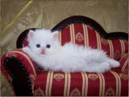 white Teacup Persian kittens available for a good home........