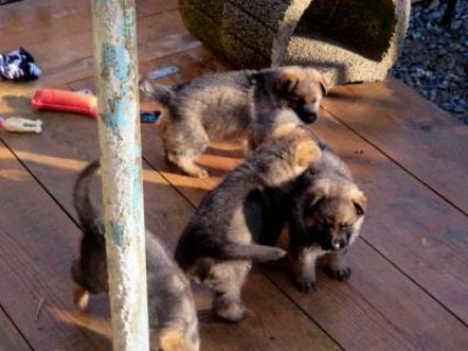 Quality Male and Female German Shepherd Puppies Ready for New Ho