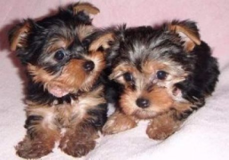 Teacup Male and Female Yorkie Puppies 766568