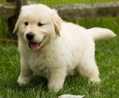 صور Golden Retriever Puppies Available 45678 1