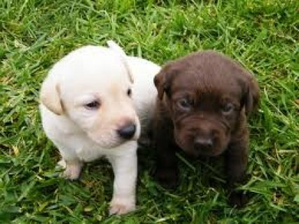 Cute Labrador retriever Puppies Available 324567