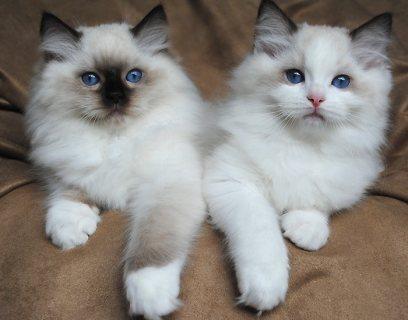 Ragdoll Kittens 909889