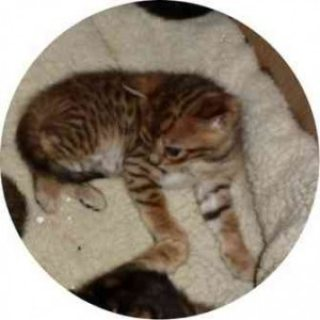 Bengal Kittens For Adoption 09890