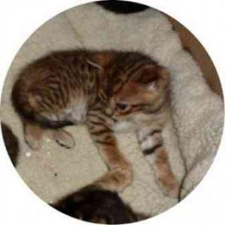 Bengal Kittens For Adoption 09890