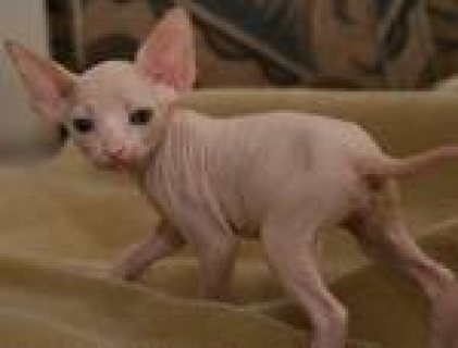 Male and female Sphynx kittens for adoption 8778767
