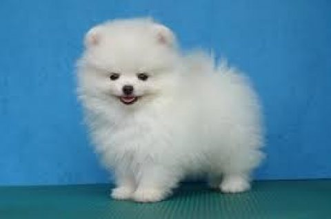 Pomeranian Puppies for Sale 09876