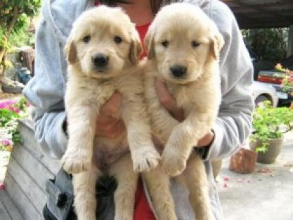 Wonderful Labrador Retriever Pups for Sale..,,.