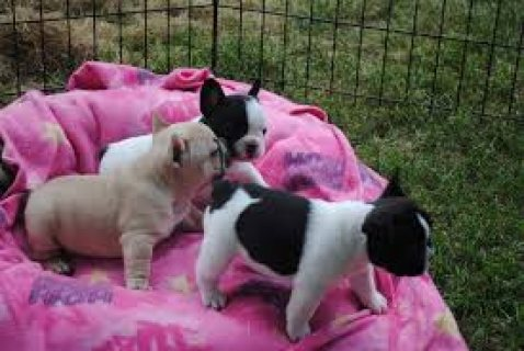 Well Trained French Bulldog Puppies for sale